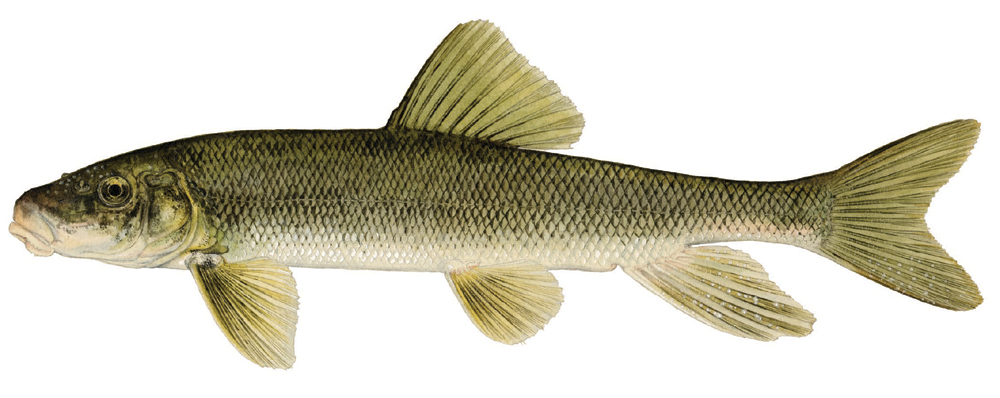 What do muskies really eat for Sucker fish food